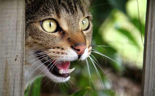 Мяукающая кошка, фото фотография картинка