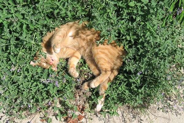 Кот валяется в зарослях валерианы, фото фотография картинка кошки