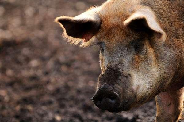 Домашняя свинья, фото фотография картинка