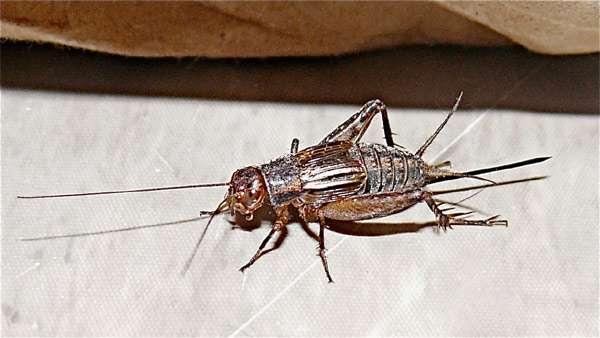 Домовый сверчок (Acheta domesticus), фото фотография насекомые картинка