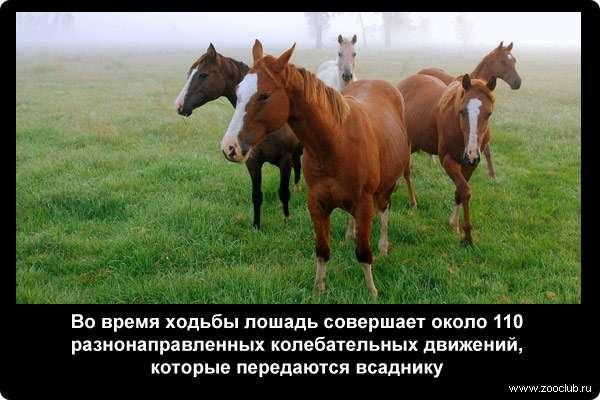 Во время ходьбы лошадь совершает около 110 разнонаправленных колебательных движений, которые передаются всаднику