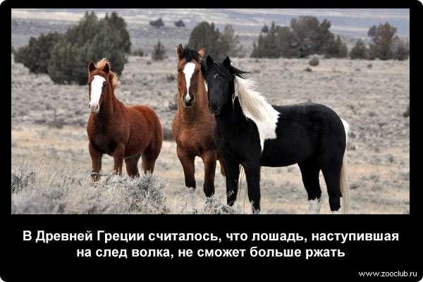 В Древней Греции считалось, что лошадь, наступившая на след волка, не сможет больше ржать