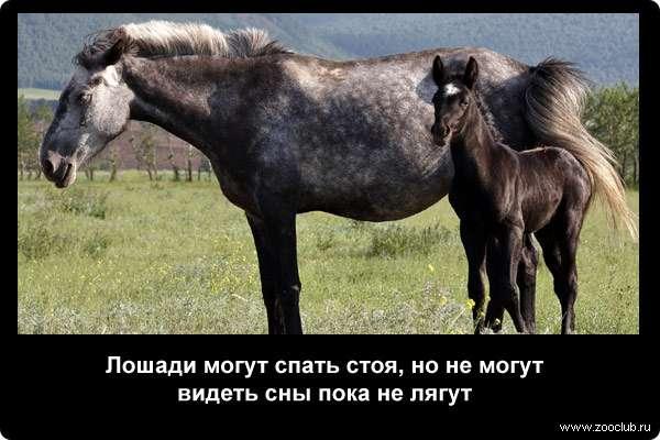 Лошади могут спать стоя, но не могут видеть сны пока не лягут