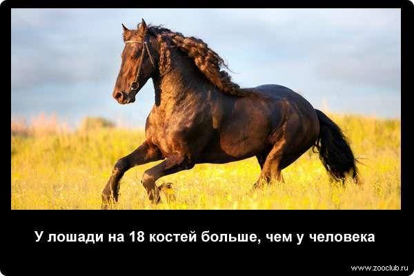У лошади на 18 костей больше, чем у человека