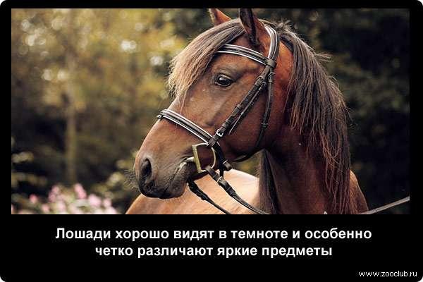 Лошади хорошо видят в темноте и особенно четко различают яркие предметы