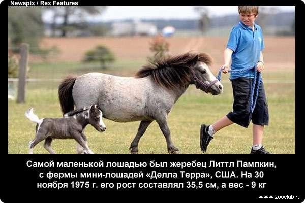 Самой маленькой лошадью был жеребец Литтл Пампкин. На 30 ноября 1975 г. его рост составлял 35,5 см, а вес - 9 кг
