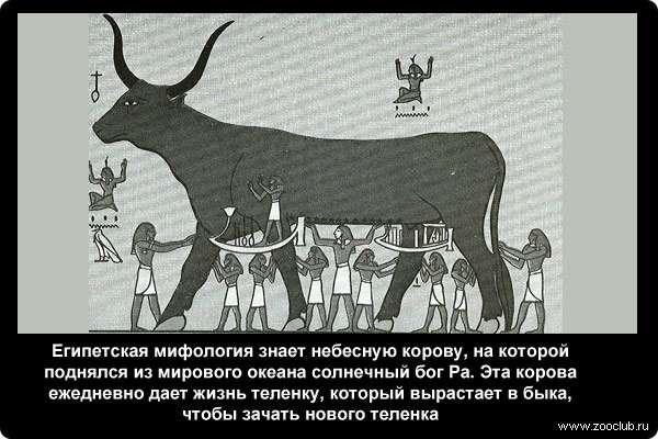 Египетская мифология знает небесную корову, на которой поднялся из мирового океана солнечный бог Ра. Эта корова ежедневно дает жизнь теленку, который вырастает в быка, чтобы зачать нового теленка