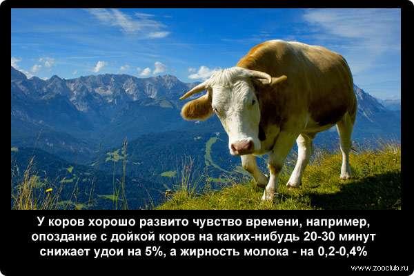 У коров хорошо развито чувство времени, например, опоздание с дойкой коров на каких-нибудь 20-30 минут снижает удои на 5%, а жирность молока - на 0,2-0,4%