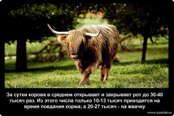 За сутки корова в среднем открывает и закрывает рот до 30-40 тысяч раз. Из этого числа только 10-13 тысяч приходится на время поедания корма, а 20-27 тысяч - на жвачку