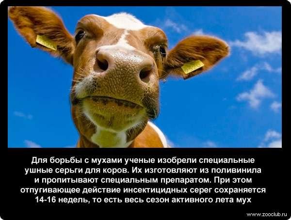 Для борьбы с мухами ученые изобрели специальные ушные серьги для коров. Их изготовляют из поливинила и пропитывают специальным препаратом. При этом отпугивающее действие инсектицидных серег сохраняется 14-16 недель, то есть весь сезон активного лета мух