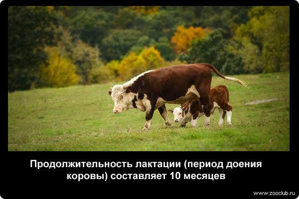 Продолжительность лактации (период доения коровы) составляет 10 месяцев
