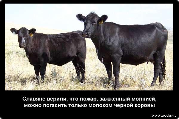 Славяне верили, что пожар, зажженный молнией, можно погасить только молоком черной коровы