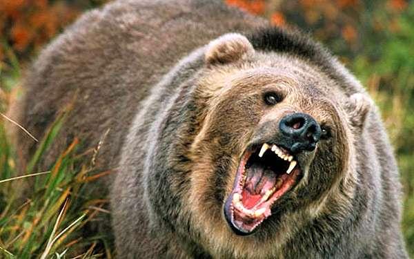 Агрессивный медведь, фото фотография хищники картинка