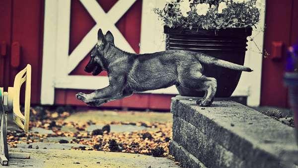 Серый щенок спускается по лестнице, фото фотография собаки картинка