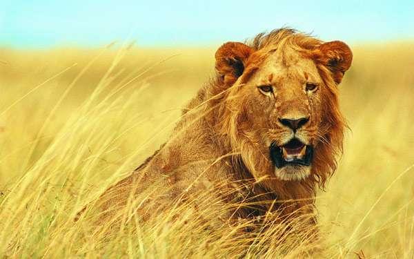 Лев (Panthera leo), фото фотография хищные кошки картинка