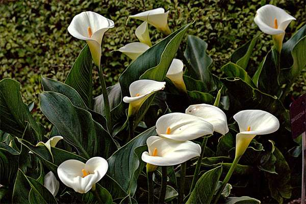 Калла, или зантедеския, эфиопская (Zantedeschia aethiopica), фото фотография комнатные цветы