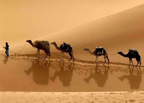 Караван верблюдов идет по пескам, фото фотография картинка