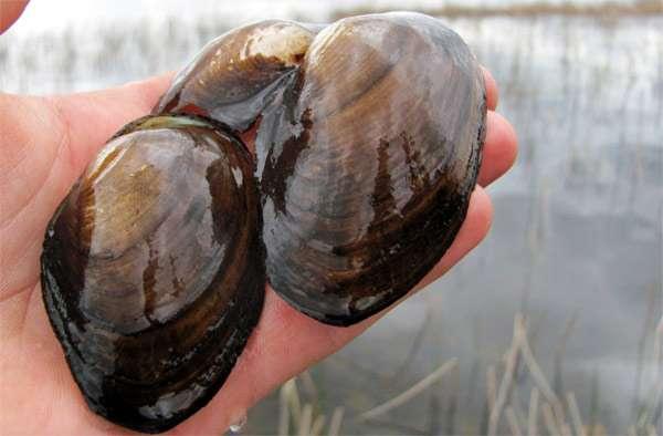 Беззубка (Anodonta kennerlyi), фото фотография моллюски картинка