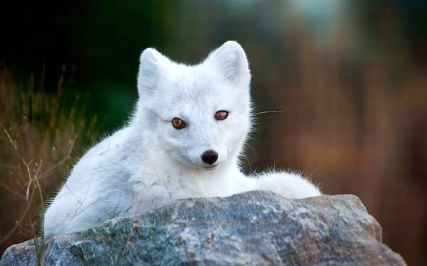 Песец, полярная лиса, фото фотография хищные животные