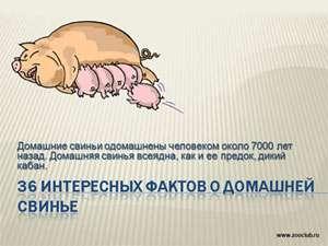 Презентация для школы - 36 интересных фактов о домашней свинье