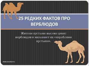 Презентация для школы - 25 редких фактов про верблюдов