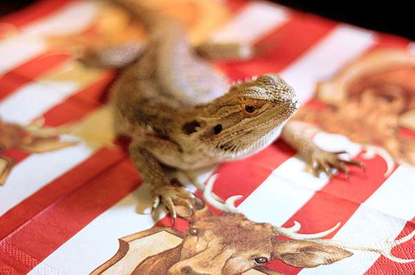 Бородатая агама (Pogona vitticeps), фото фотография рептилии