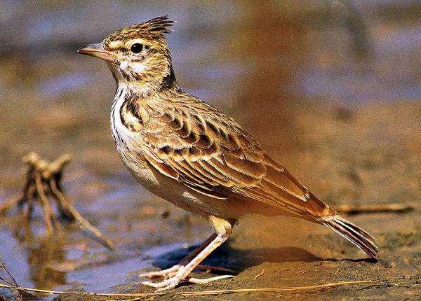 жаворонок птица фото