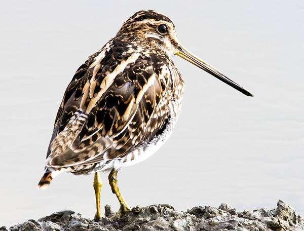 Бекас (Gallinago gallinago), фото бекасовые птицы фотография
