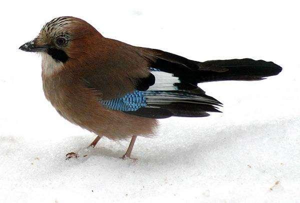 Сойка (Garrulus glandarius), фото птицы фотография