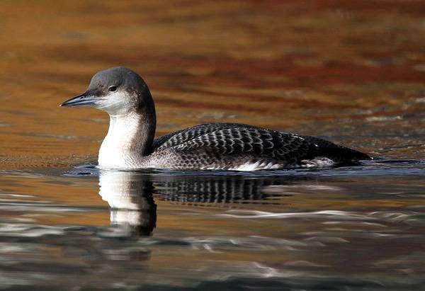 Чернозобая гагара (Gavia arctica), изображение птицы картинка