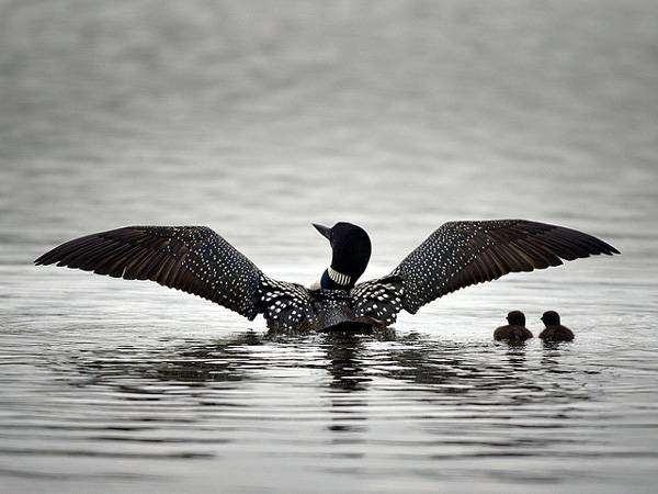 Черноклювая гагара (Gavia immer), изображение птицы фото
