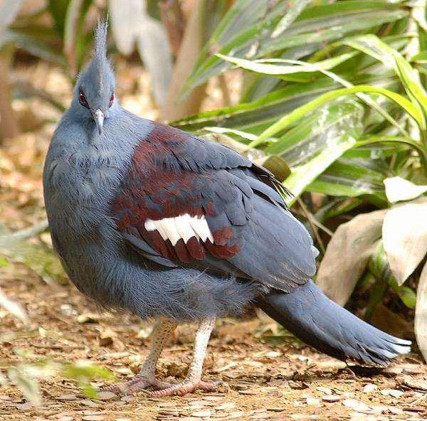 Синий венценосный голубь (Goura cristata), фото птицы фотография
