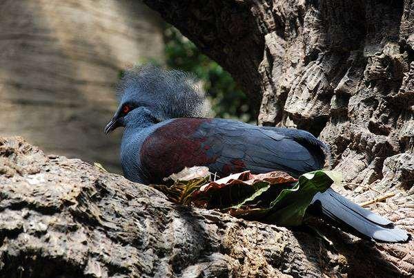 Синий венценосный голубь (Goura cristata), изображение птицы фотография