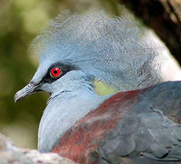 Синий венценосный голубь (Goura cristata), фото голубиные птицы фотография