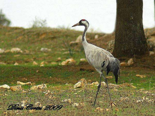 Серый журавль (Grus grus), изображение птицы картинка