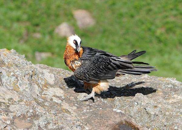 Бородач бородач gypaetus barbatus фото ягнятник ареал характер  Бородач или ягнятник gypaetus barbatus