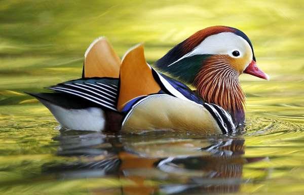 умеет ли летать утка мандаринка