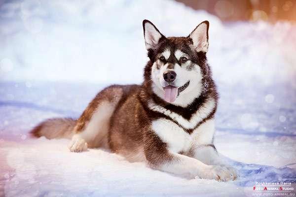 Сибирский хаски лежит на снегу, фото уход за собакой фотография