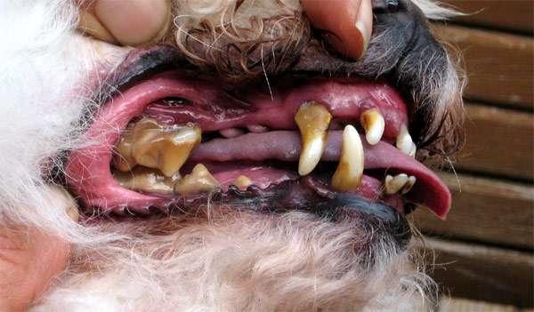 Щенок рождается с зубами