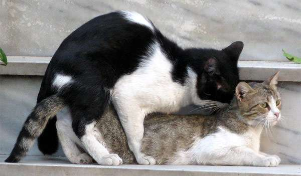 Вязка кошек, фото фотография картинка