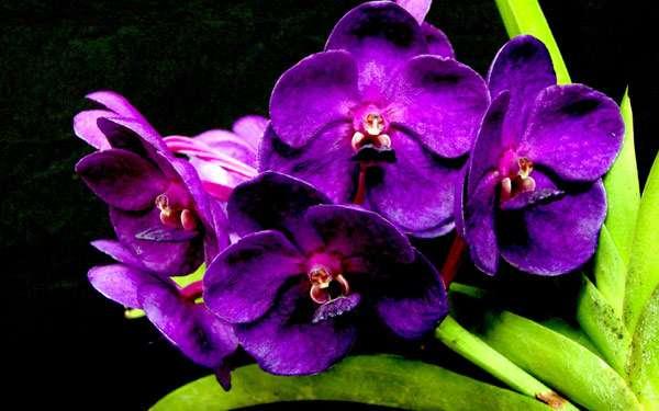 Фиолетовая орхидея, фото фотография цветы