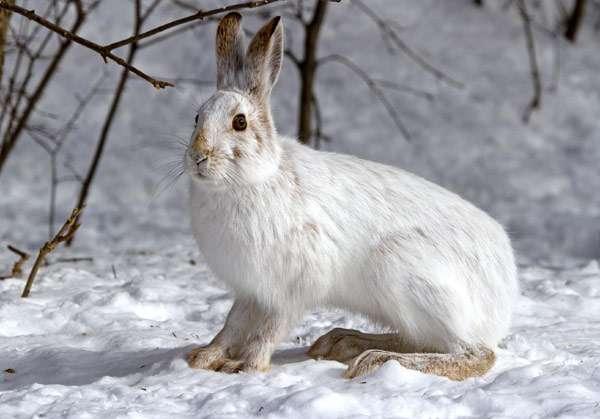 Почему зайца называют беляком? Почему зайца-беляка так назвали?