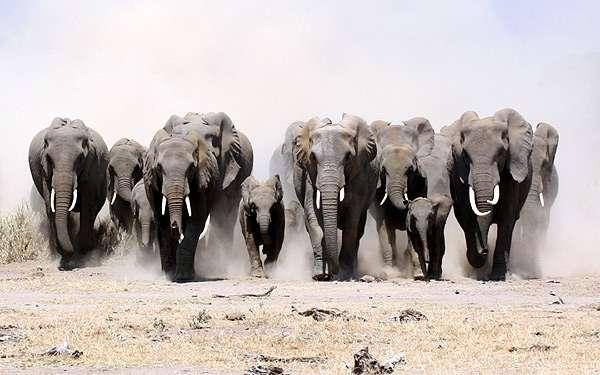 Бегущее стадо слонов, фото фотография картинка