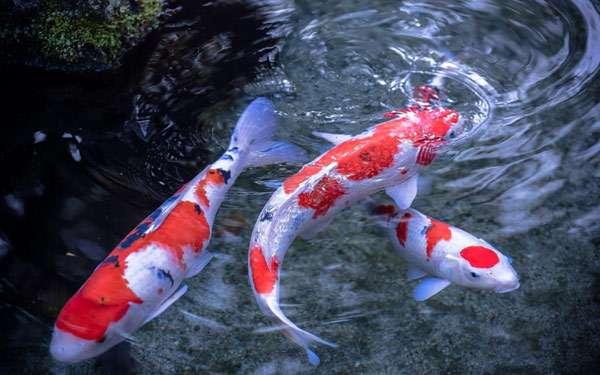 Три плавающих кои, фото фотография рыбы