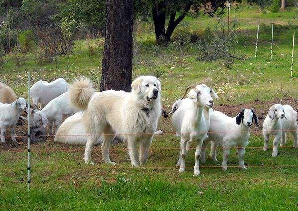 Акбаш (турецкий акбаш, акбаш-дог) с козами, фото породы собак фотография