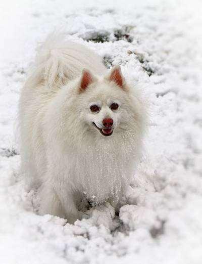 Американский эскимосский шпиц, фото породы собак фотография