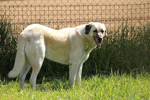 Анатолийский карабаш, анатолийская пастушья собака, фото породы собак фотография