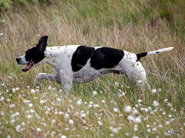 Английский пойнтер, фото породы собак фотография