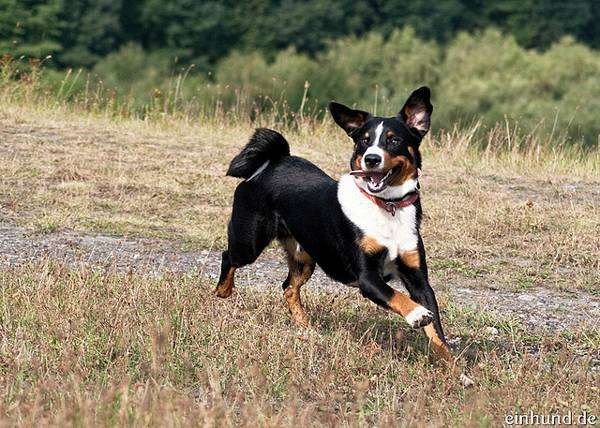 Аппенцеллер, фото породы собак фотография