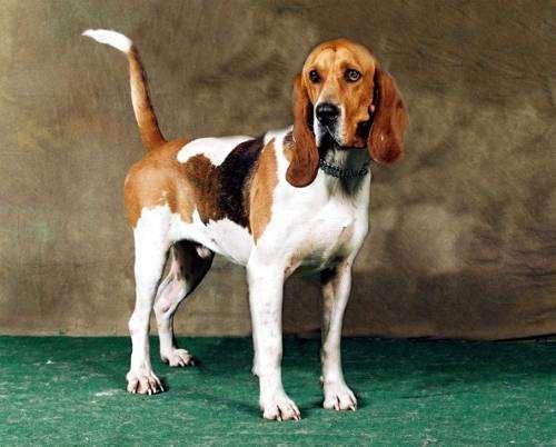 Артуазская гончая, фото породы собак фотография